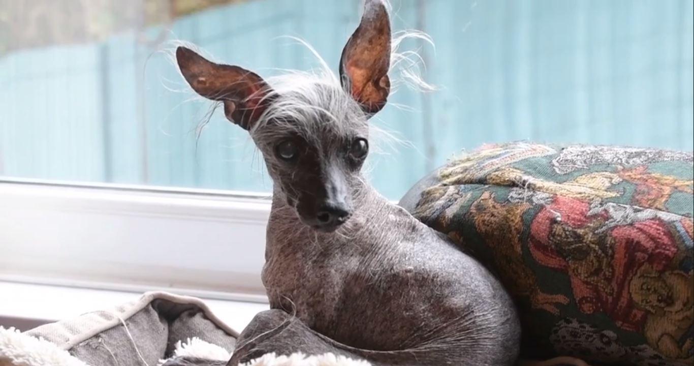 Lembra-se do cão mais feio do mundo? Faleceu com 16 anos